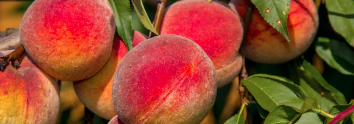 Колоновидные персики - хит сезона 2021!  морозостойкие сорта для средней полосы