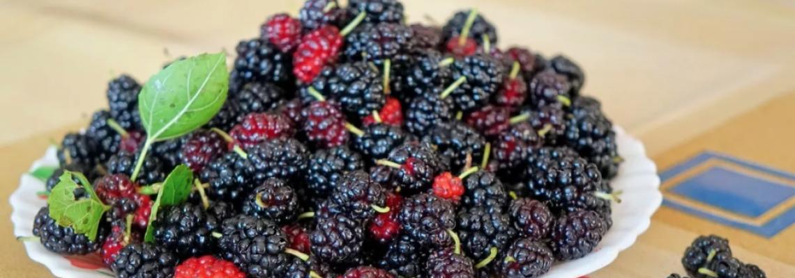 Шелковица: ароматная ягода с антиоктидантами разнобразит ваш плодовый сад