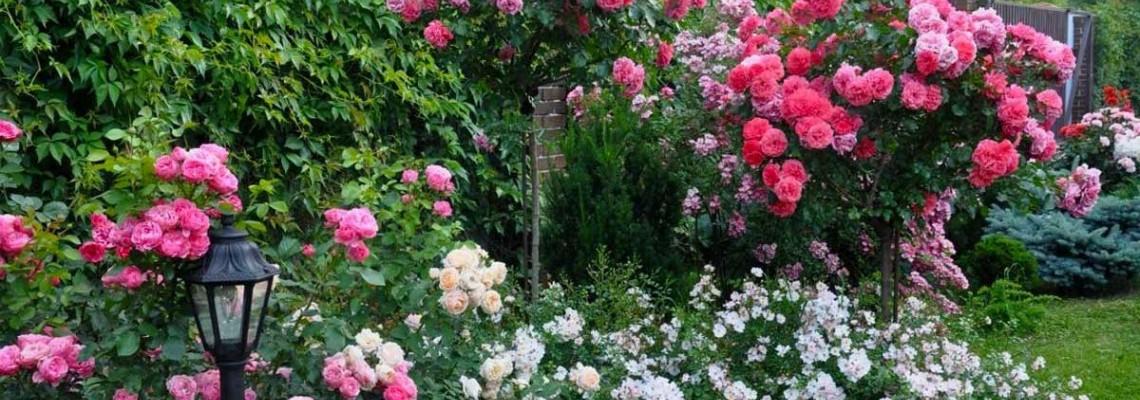 Штамбовые розы разнообразят ландшафтный дизайн  и создадут эффект зонирования