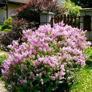 Саженец сирени Мейера Flowerfesta purple (Флауэрфест пурпл)-NB