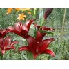 Луковица лилии Cigalon (Цигалон) ЛА-гибрид-NB: фото и описание