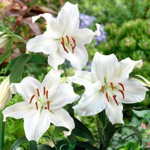 Луковица лилии Сантандер восточной-NB