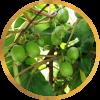 Саженец актинидии женский Фантазия садов: фото и описание