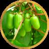 Саженец актинидии женский Лакомка: фото и описание