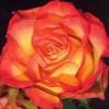 Саженец розы Анимо : фото и описание