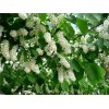 Саженец черемухи обыкновенной Watereri: фото и описание