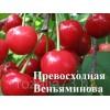 Саженец черевишни Превосходная Веньяминова: фото и описание