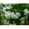 Саженец чубушника (жасмина садового) (20-25 см.): фото и описание