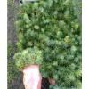 Саженец ели колючей Глаука (сеянец от 10см): фото и описание