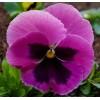 Семена фиалки Лаура Арт. 5749