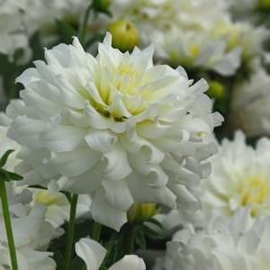 Клубни Георгина Snowflake - Сноуфлейк