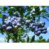 Саженец Голубики Блю Рей: фото и описание