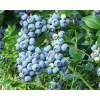 Саженец Голубики Джерси: фото и описание