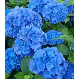 Саженец Гортензии Blue Wonder