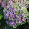 Саженец Гортензии Magical Amethyst blue: фото и описание