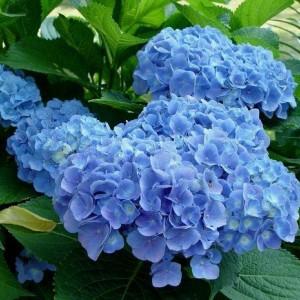 Саженец Гортензии Сleopatra Blue
