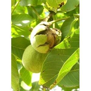 Саженец Грецкого ореха Аврора