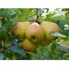 Саженец колоновидной груши белокрасная ранняя: фото и описание