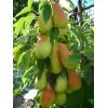 Саженец груши Летняя колоновидная: фото и описание