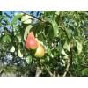 Саженец груши Мраморная: фото и описание