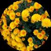 Саженец хризантемы мультифлора Адонис: фото и описание