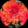 Саженец хризантемы Арес Бронз: фото и описание
