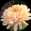 Саженец хризантемы Арес Шампань: фото и описание