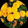 Саженец хризантемы Балиос: фото и описание