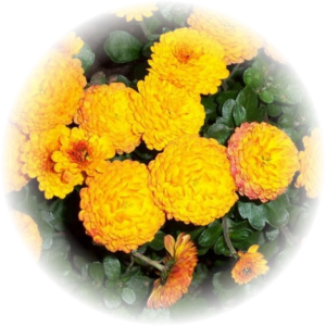 Саженец хризантемы Балиос
