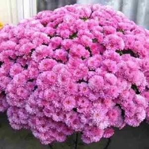 Саженец хризантемы Белго Лилак (мультифлора)