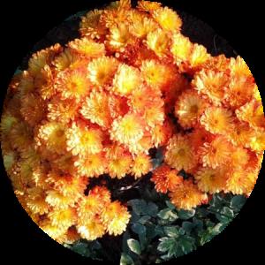 Саженец хризантемы Бран Бич Оранж