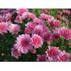 Саженец хризантемы Branrouse мультифлора: фото и описание