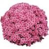 Саженец хризантемы Черил пинк (мультифлора): фото и описание