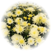 Саженец хризантемы Домино голд: фото и описание