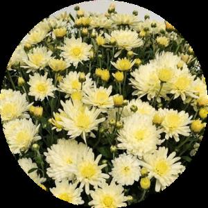 Саженец хризантемы Домино ГОЛД