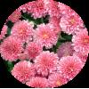 Саженец хризантемы Домино пинк: фото и описание