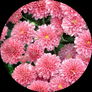 Саженец хризантемы Домино ПИНК