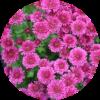 Саженец хризантемы мультифлора Домино РОУЗ: фото и описание