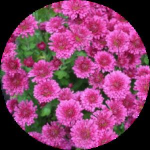 Саженец хризантемы Домино РОУЗ