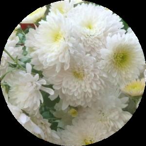 Саженец хризантемы Домино Уайт
