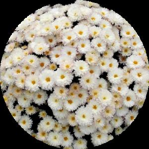 Саженец хризантемы ДРИМ