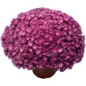 Саженец хризантемы Джаклин пинк (мультифлора)