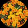 Саженец хризантемы Эрис: фото и описание