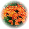 Саженец хризантемы Фанни: фото и описание