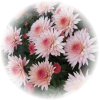 Саженец хризантемы Фруктис: фото и описание