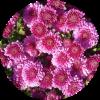 Саженец хризантемы Глори: фото и описание