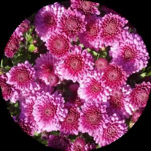 Саженец хризантемы Глори