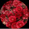 Саженец хризантемы Глори Ред: фото и описание