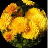 Саженец хризантемы Хало: фото и описание