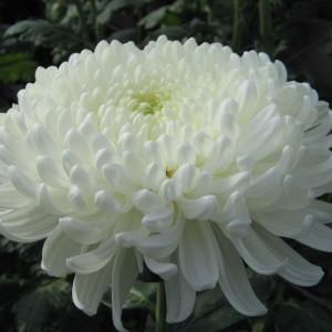 Саженец крупноцветковой хризантемы Хрустальная Ваза